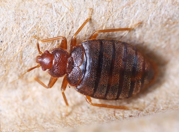 Adult bed bug crawling.