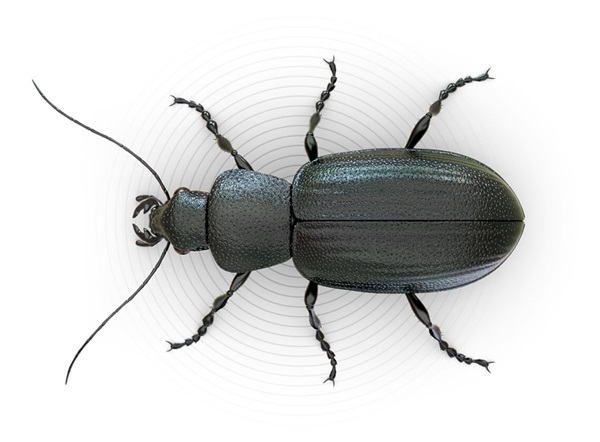 Top-view illustration of a beetle.