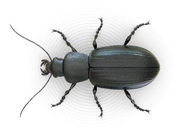 Ilustración superior de un escarabajo.