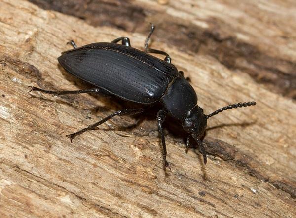 Imagen de un escarabajo negro grande