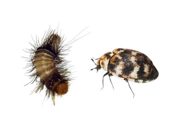 Image of a carpet beetle and woolly bear beetle.