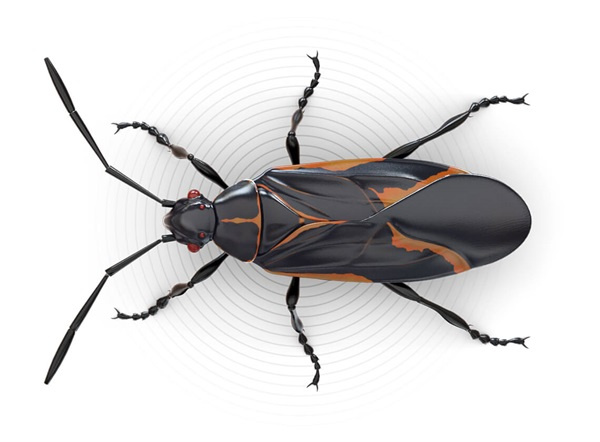 Top-view illustration of a boxelder bug.