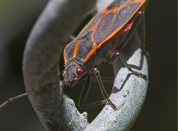 Close up image of a boxelder bug crawling on a plant.