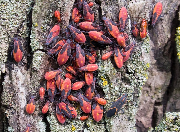 Several boxelder bugs crawling on a tree.