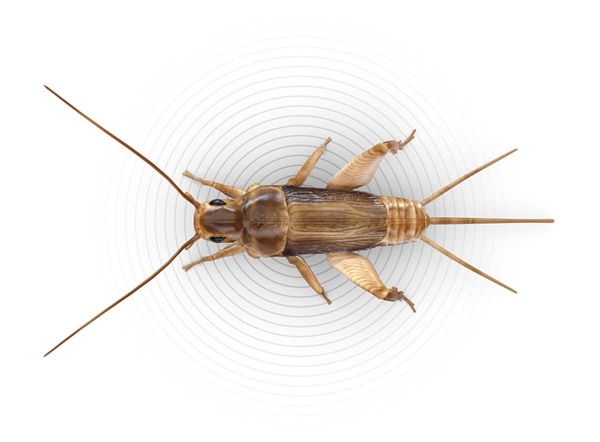 Top-view illustration of a cricket.