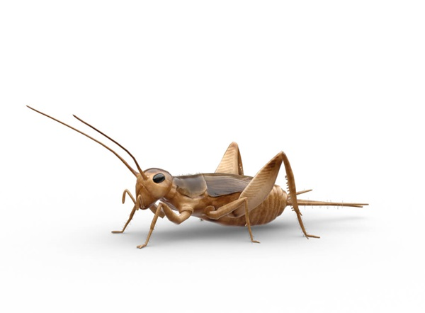 Side-view illustration of a cricket.