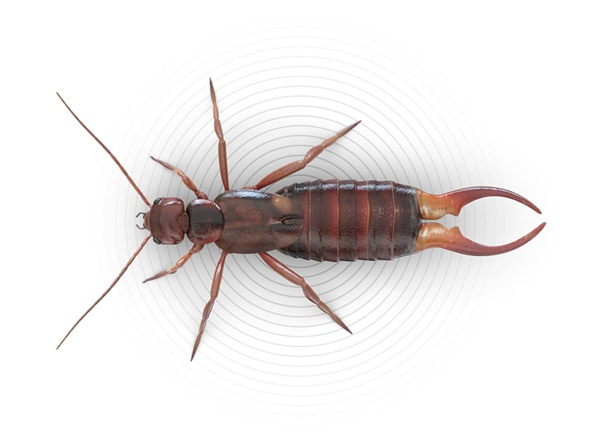 Top-view illustration of an earwig.