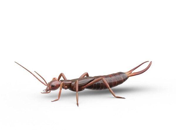 Side-view illustration of an earwig.