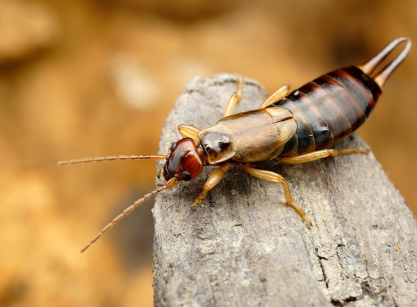 Close up image of an earwig on a piece of wood.