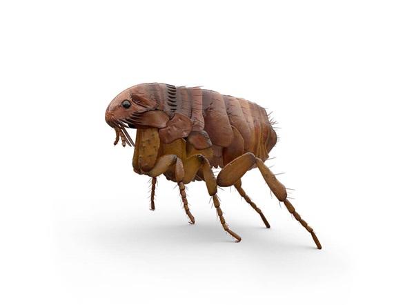 Ilustración lateral de una pulga.