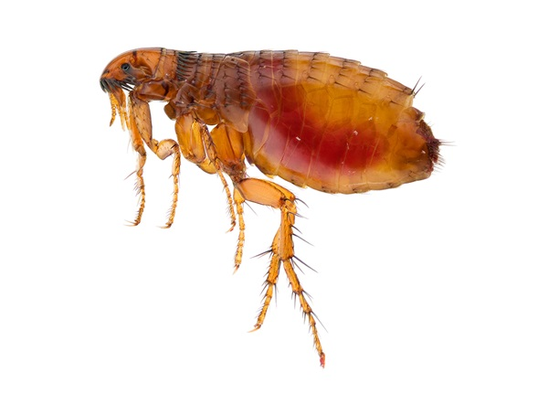 Imagen en primer plano de una pulga.