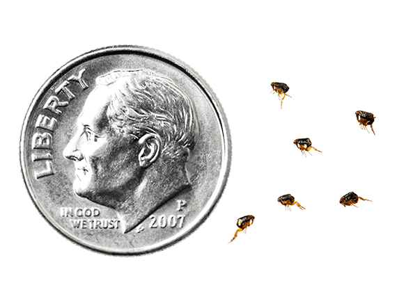 A side-by-side comparision of fleas compared to a U.S. dime. A flea's size can range between 0.0625 to 0.125 inch in length, whereas a U.S. dime is 0.705 inch in diameter.