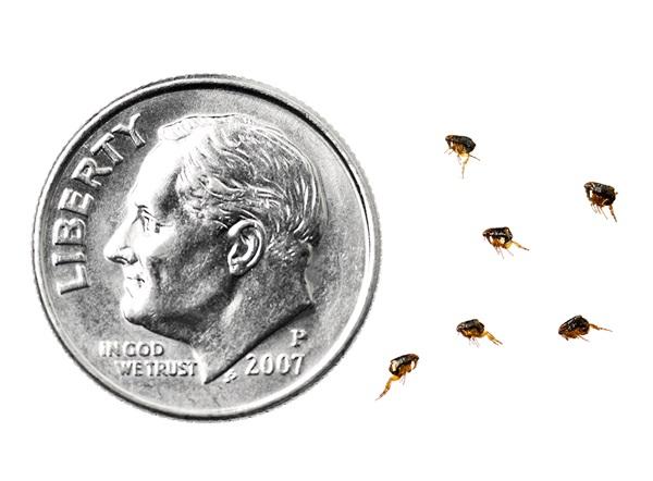 Una comparación paralela de las pulgas con una moneda estadounidense de diez centavos. El tamaño de una pulga puede variar entre 1.60y 3mm de largo, mientras que la moneda estadounidense de diez centavos mide 18mm.