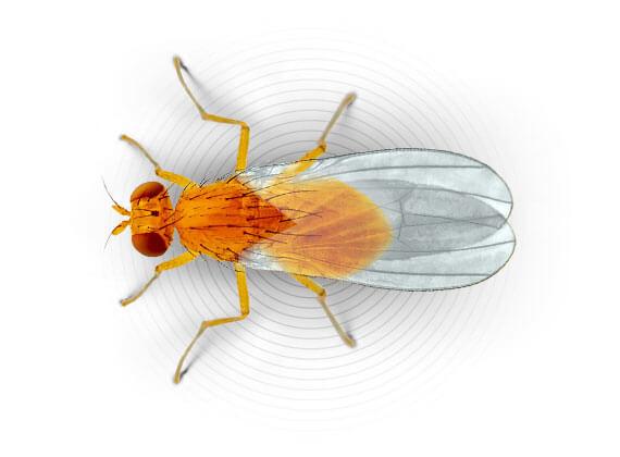 Ilustración superior de una mosca de la fruta.