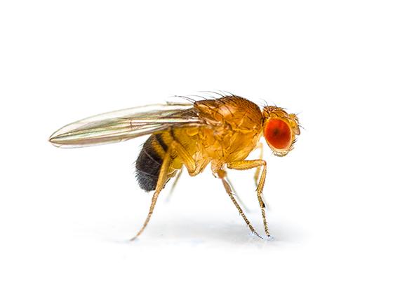 Ilustración lateral de una mosca de la fruta.
