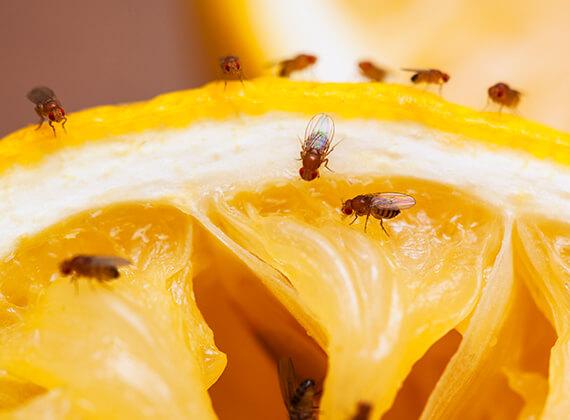 Moscas De La Fruta Y Del Desagüe Cómo Deshacerse De Las Moscas Conceptos Básicos Sobre Insectos De Raid