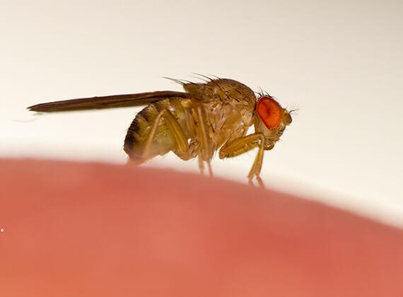 Imagen en primer plano de una mosca de la fruta.
