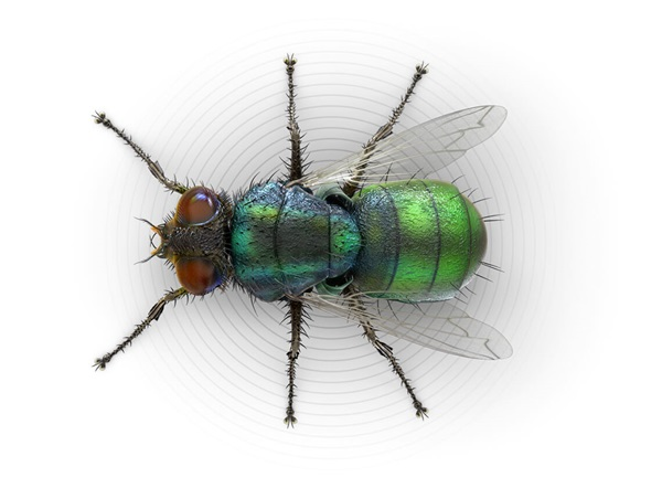Top-view illustration of an outdoor filth  fly.