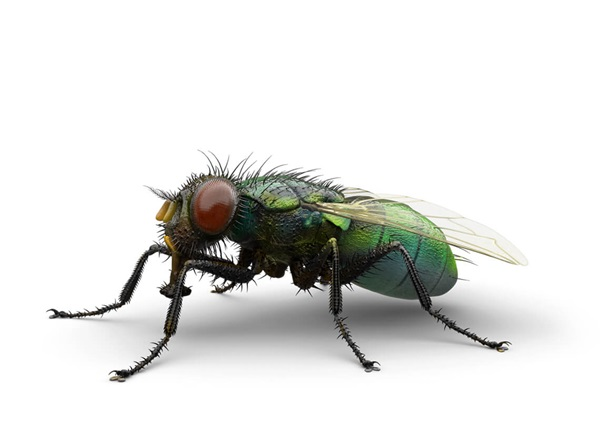 Side-view illustration of an outdoor filth fly.