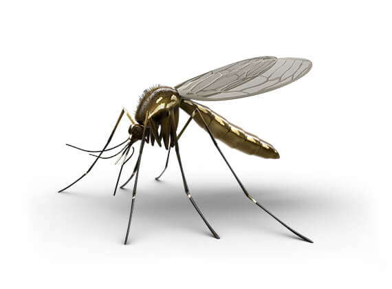 Side-view illustration of a mosquito.