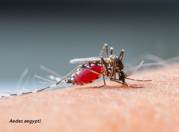 Close-up of an Aedes aegypti (mosquito) on human skin