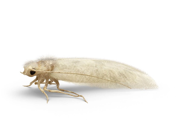 Side-view illustration of a clothes moth.