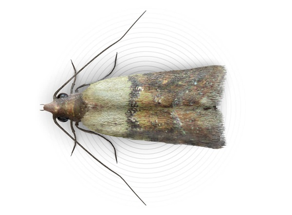 Top-view illustration of a food moth.