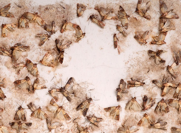 Moths caught within a moth trap.