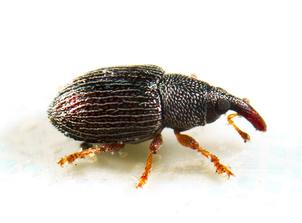Close-up side-view image of a pantry beetle.