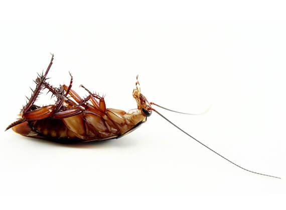 Imagen de una cucaracha grande muerta.