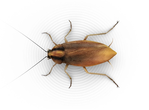 Top-view illustration of a small roach.