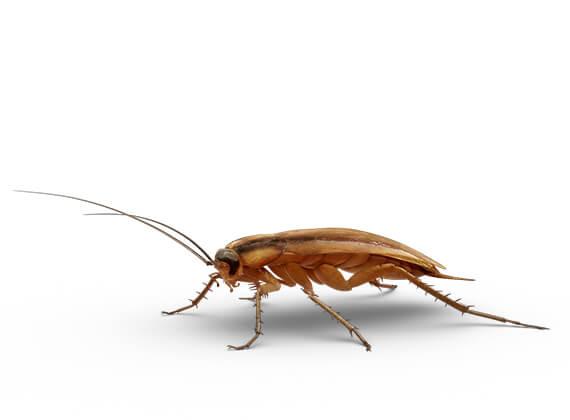 Ilustración lateral de una cucaracha pequeña.