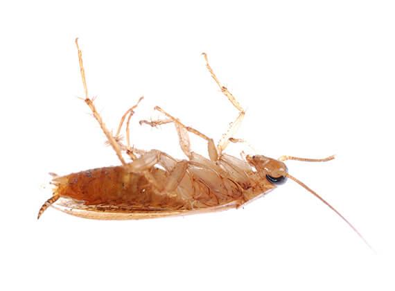 Imagen de una cucaracha pequeña muerta.