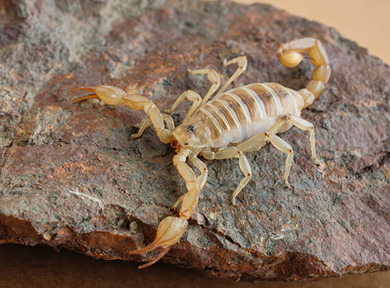 A scorpion crawling on top of a rock.