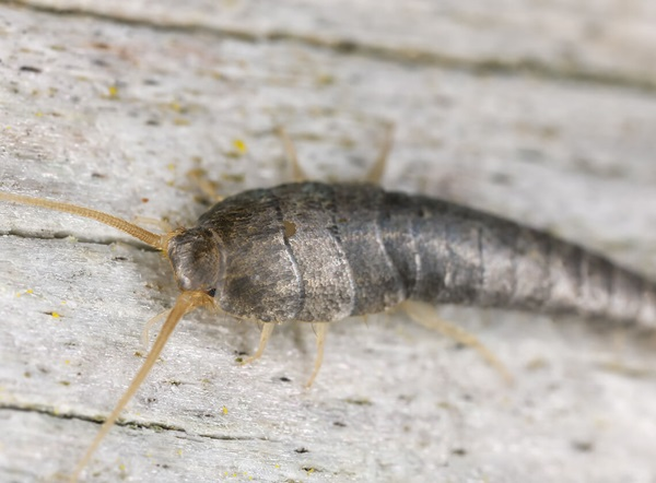 A close-up of a silverfish on the ground.