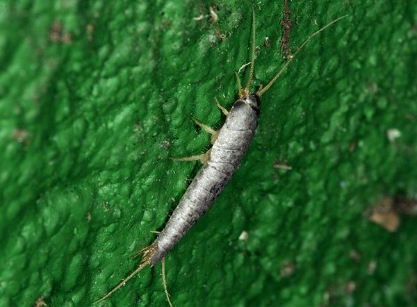 A side-view close up of a crawling silverfish.