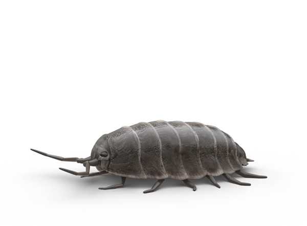 Side-view illustration of a sowbug.