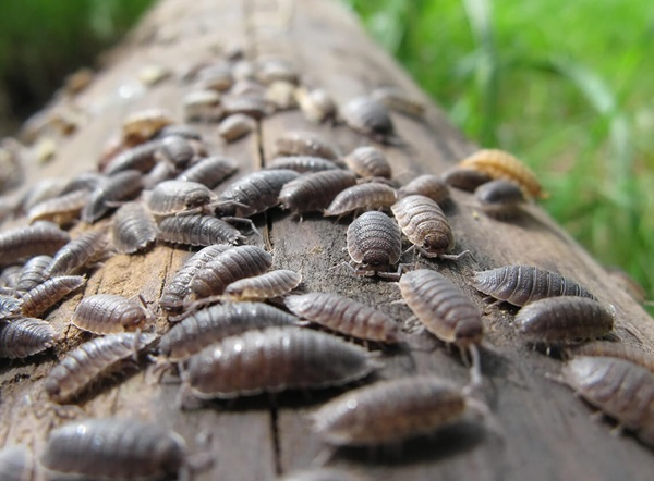 Image of many sowbugs crawling across a fallen log.