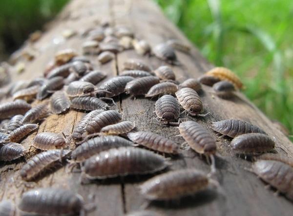 Imagen de muchas cochinillas de la humedad caminando por un tronco caído.