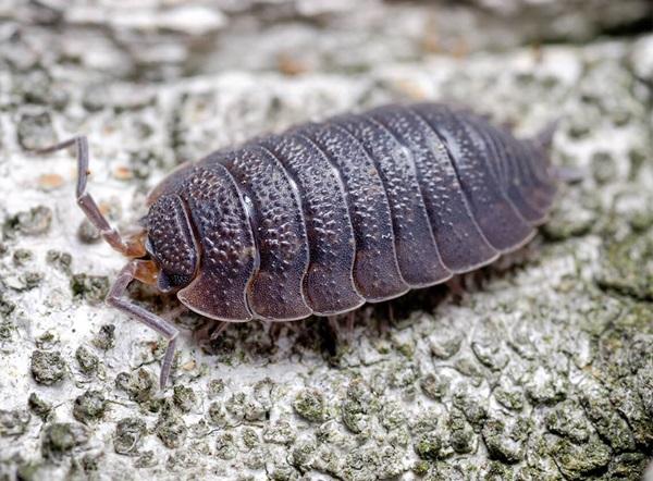 A close-up of a sowbug crawling along a log.