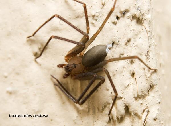 Imagen en primer plano de una araña reclusa parda (Loxosceles reclusa).