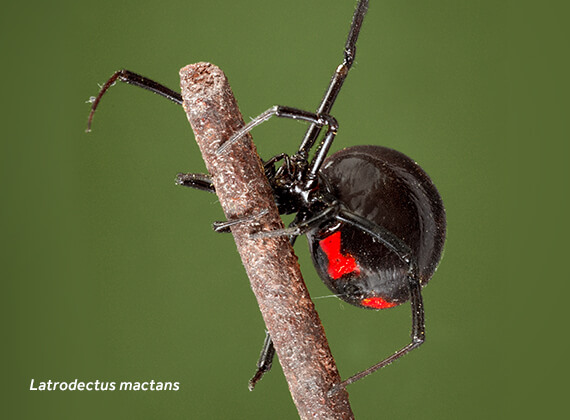 Close-up image of a black widow (Latrodectus mactans) spider.