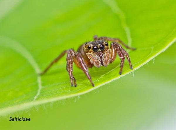 Imagen en primer plano de una araña saltarina (Salticidae).