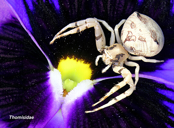 Close-up image of a crab spider (Thomisidae).
