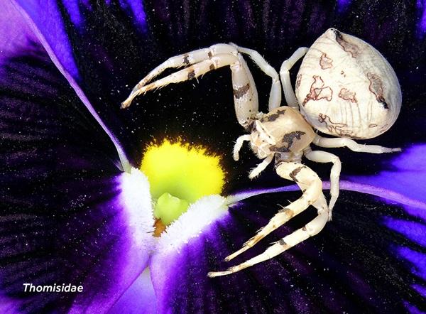 Imagen en primer plano de una araña cangrejo (Thomisidae).