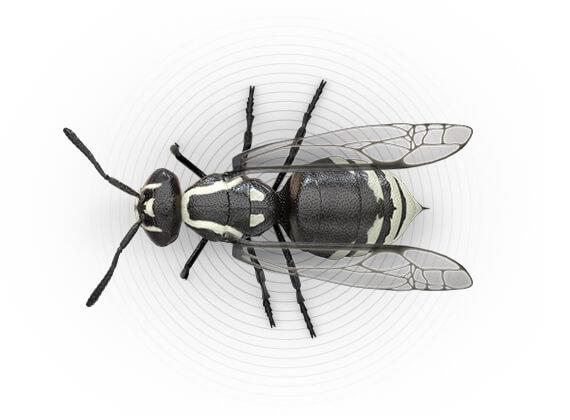 Ilustración superior de un avispón.