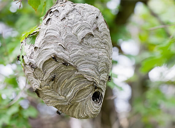 Hornets on a hornet nest hanging from a tree branch.