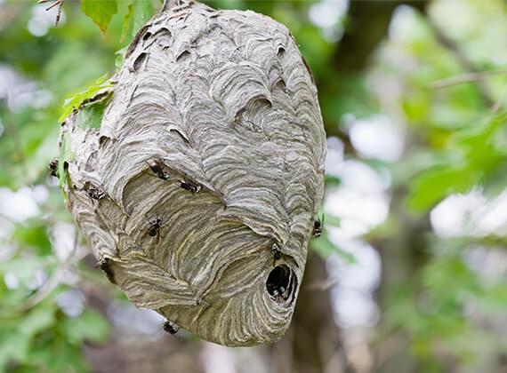 Avispones en un nido que cuelga de la rama de un árbol.