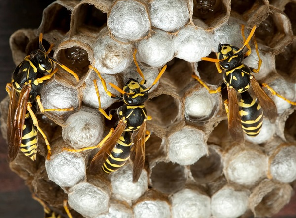 Close up of wasps on cells within a wasp nest.
