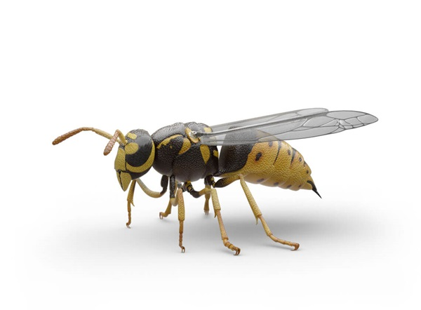 Side-view illustration of a yellow jacket.